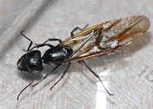 Carpenter Ant Swarmer