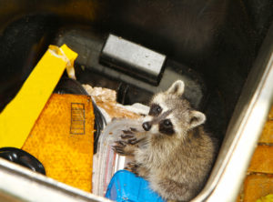 Looking down at a young raccoon stuck in a garbage container