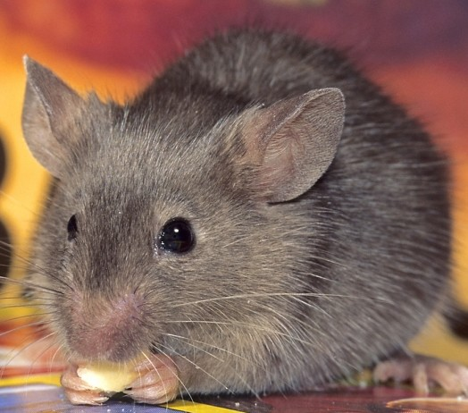 Rodent Removal - Boston, MA | Ultra Safe Pest Management