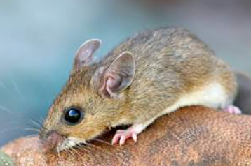 Deer Mice in Massachusetts